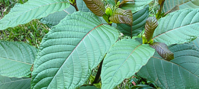 Does Kratom Have A Shelf Life?