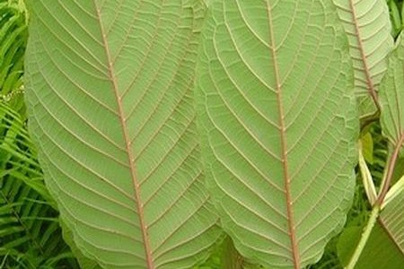 Differences in Kratom Vein Colors